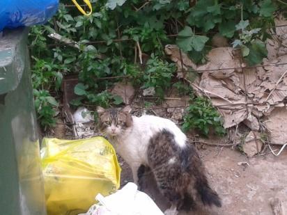 Η γάτα των Ιμαλα΄ίων φαίνεται προτίμησε τη γειτονιά μας (φωτογραφια 29.2.2016)