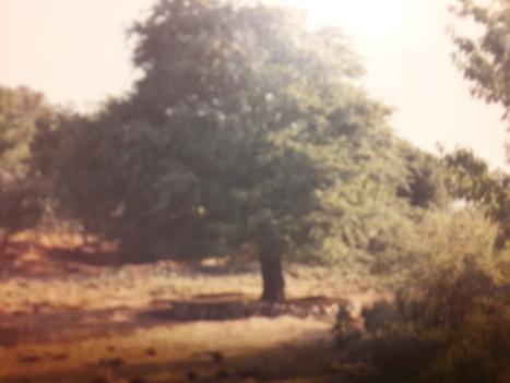 Το περίφημο δέντρο της ανασκαφής της Ζωμύνθου (φωτ. ΑΛΚΜΑΝ 1985)