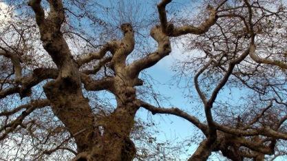 Ο ουραν΄ςο χαμηλώνει να αγκαλιάσει τον μεγάλο πλατανο στο Κράσι(φωτογρ.διαδικτύου)